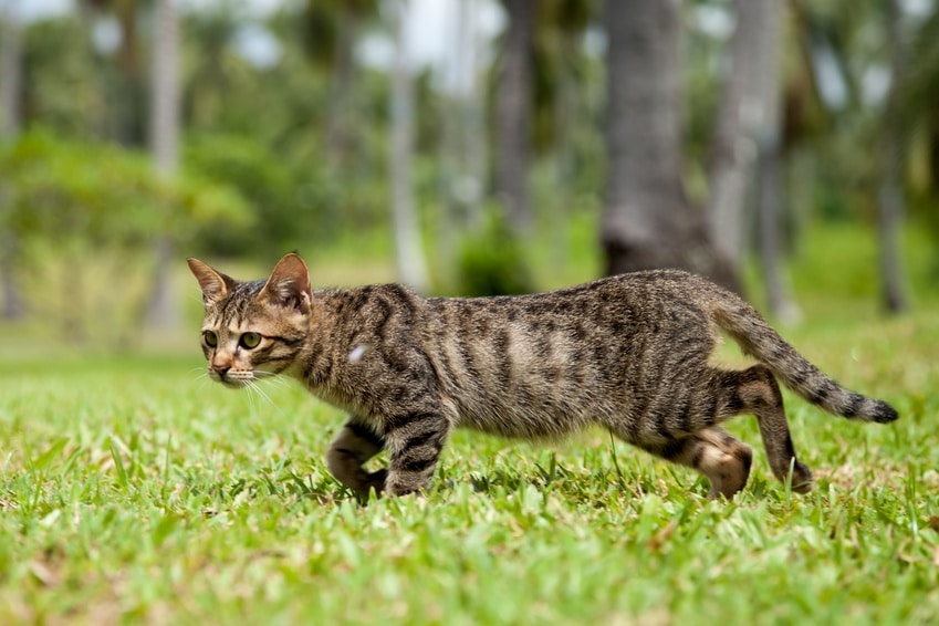 Thin Stray Tabby Cat Walking in Long Grass